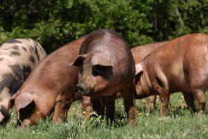 Los alimentos ecológicos cuidan de la ganadería